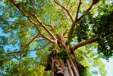 Free Giant Tree In The Rain Forest Stock Photos - 14816573