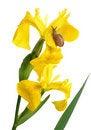 Free Yellow Iris And A Snail Stock Photo - 14821590