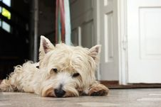 Free Tired Westie Royalty Free Stock Photo - 14821045