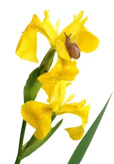 Free Yellow Iris And A Snail Stock Photo - 14821590