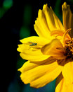 Free Yellow Flower With A Fly Stock Images - 14837004