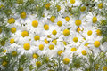 Free Camomile Stock Photos - 14837023