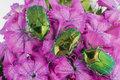Free Green Bugs On Pink Flowers Royalty Free Stock Image - 14837826