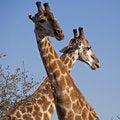 Free Giraffes Royalty Free Stock Photos - 14838328