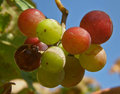 Free Fruits Of Grapes In Different Colors Stock Photography - 14838772