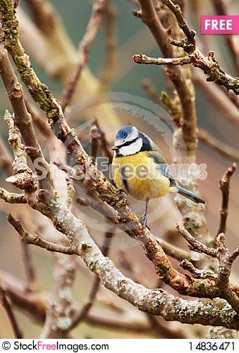 Free Blue Tit Stock Image - 14836471