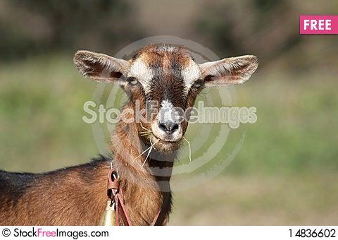 Free Goat Stock Photography - 14836602