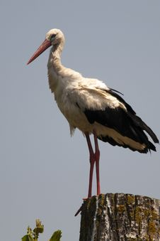 Free White Stork On A Log Royalty Free Stock Photo - 14832155