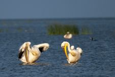 Pair Of Great White Pelicans Preening Royalty Free Stock Photo