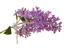 Free Isolated Lilac Branch Royalty Free Stock Photo - 14832575