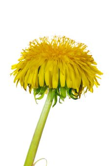 Free Isolated Yellow Dandelion Flower Royalty Free Stock Image - 14832576