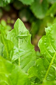 Free Grasshopper On Leaf Royalty Free Stock Photography - 14834507