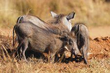 Free Warthog Royalty Free Stock Photo - 14834525