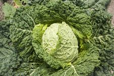 Free Cabbage Royalty Free Stock Photo - 14836395