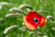 Free Poppies Stock Photography - 14838082
