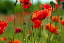 Free Poppies Royalty Free Stock Photo - 14838095