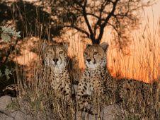 Free Cheetahs At Sunrise Stock Photography - 14838292