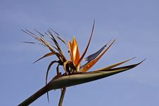 Free Crane Lily Or Bird Of Paradise Stock Photos - 14838633