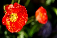Free Red Poppy Flower Stock Photography - 14838752