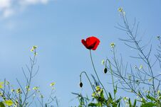 Red Poppy Flower And Grass On Spring Sunny Day In Meadow And Blue Sky In The Background Stock Image