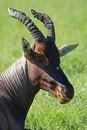 Free Topi Antelope Ruminating, Kenya Royalty Free Stock Images - 14841449