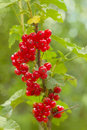 Free Red Currants On Bush. Royalty Free Stock Image - 14847596