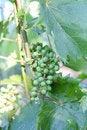Free Green Grape Stock Image - 14849261