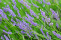 Free Lavender Royalty Free Stock Photography - 14849447