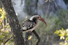 Free African Hornbill Royalty Free Stock Image - 14840256