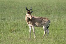 Free Hartebeest Antelope, Masai Mara, Kenya Royalty Free Stock Photo - 14841405