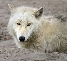 Free Young Wolf Stock Photo - 14841480