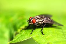 Free Flesh Fly Stock Photo - 14841650