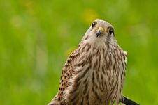 Free Falcon Wondering On The Photographer Stock Photo - 14842030