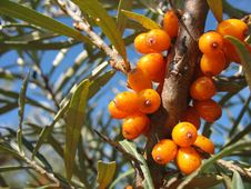 Free Sea-buckthorn Berries Royalty Free Stock Photography - 14842397