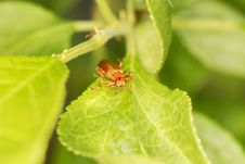 Free Soldier Beetle Royalty Free Stock Images - 14842629