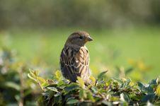 Free Grey Sparrow Royalty Free Stock Image - 14844066