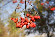 Free Ripe Bunches Of Red Mountain Ash Stock Images - 14844204
