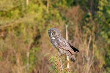 Free Great Gray Owl Royalty Free Stock Photography - 14844647