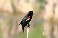 Free Red-winged Blackbird On A Cattail Royalty Free Stock Photos - 14844718