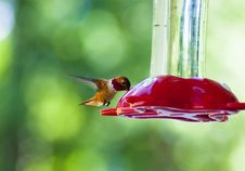 Free Hummingbird Drinking Royalty Free Stock Photography - 14844967