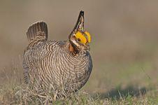 Free Lesser Prairie Chicken Stock Photos - 14845513