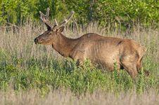 Free Bull Elk In Velvet Royalty Free Stock Images - 14845739