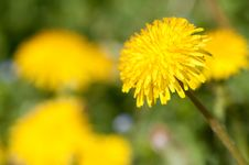 Free Dandelion Bloom Royalty Free Stock Images - 14845809
