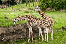 Free Baby Giraffes Royalty Free Stock Image - 14845916