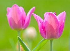 Free Tulip Royalty Free Stock Image - 14846046