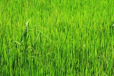 Free Thai Rice Field Stock Images - 14846564