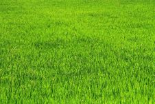 Free Thai Rice Field Royalty Free Stock Image - 14846586