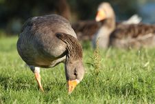 Free Greylag Goose Stock Photos - 14846653