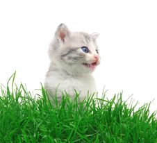 Free Kitten In Grass Royalty Free Stock Photography - 14846697