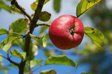 Free Red Apple On A Branch Royalty Free Stock Image - 14846876